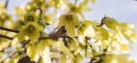 01_forsythia_goldflieder