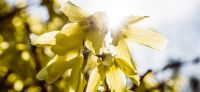03_forsythia_goldflieder
