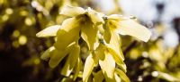 05_forsythia_goldflieder