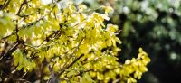 09_forsythia_goldflieder