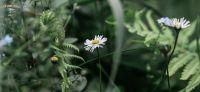 12_Gaensebluemchen_Bellis-perennis_Heilpflanze_2017