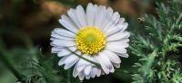 15_Gaensebluemchen_Bellis-perennis_Heilpflanze_2017