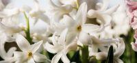 08_hyazinthe_hyacinthus