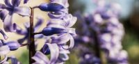 13_hyazinthe_hyacinthus