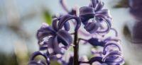 15_hyazinthe_hyacinthus