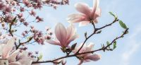 08_magnolie_magnolia_gartenplanung_gartengestaltung_pflanzplanung_leipzig
