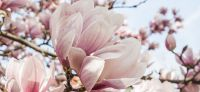 09_magnolie_magnolia_gartenplanung_gartengestaltung_pflanzplanung_leipzig