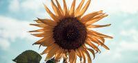 06_sonnenblume_helianthus