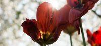 02_tulpe_tulipa