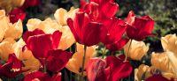 06_tulpe_tulipa