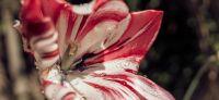 09_tulpe_tulipa