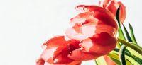 10_tulpe_tulipa