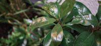 22_pflanzkuebel_lichthof_kalmia_latifolia