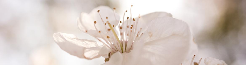 Kirschblüten als Frühjahrsanzeiger!