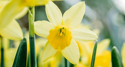 osterglocke-narcissus-pseudonarcissus-narzisse-amaryllidacea