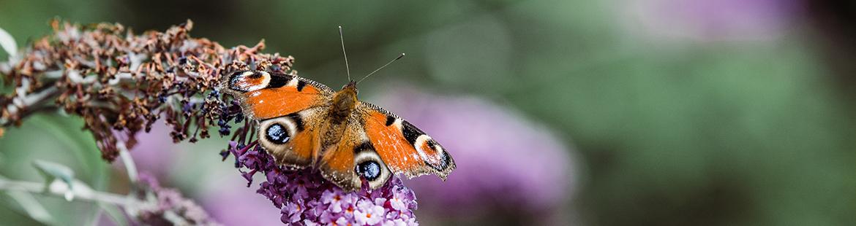 tagpfauenauge-gartenbesucher-insekten